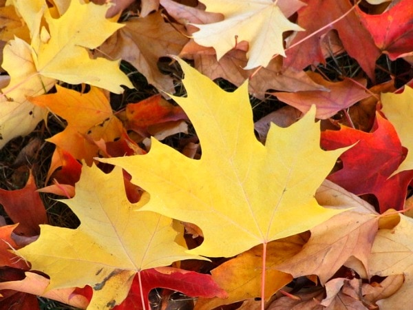 The leaves in my yard at home eventually fall off the trees, but they ...