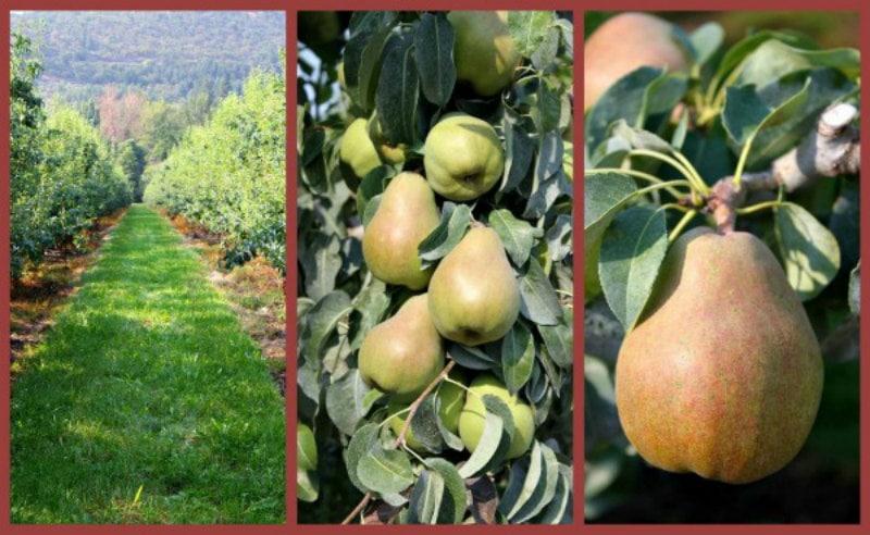 pear orchard photos