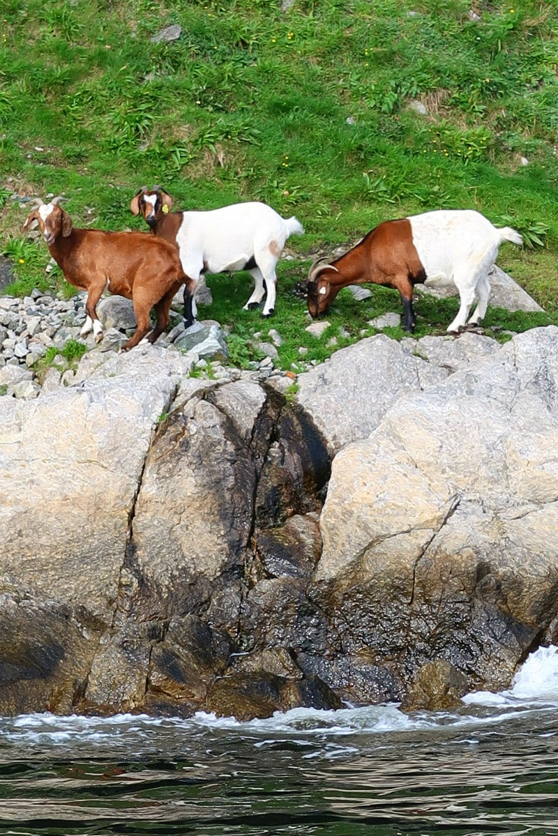 Goats in Stavanger, Norway