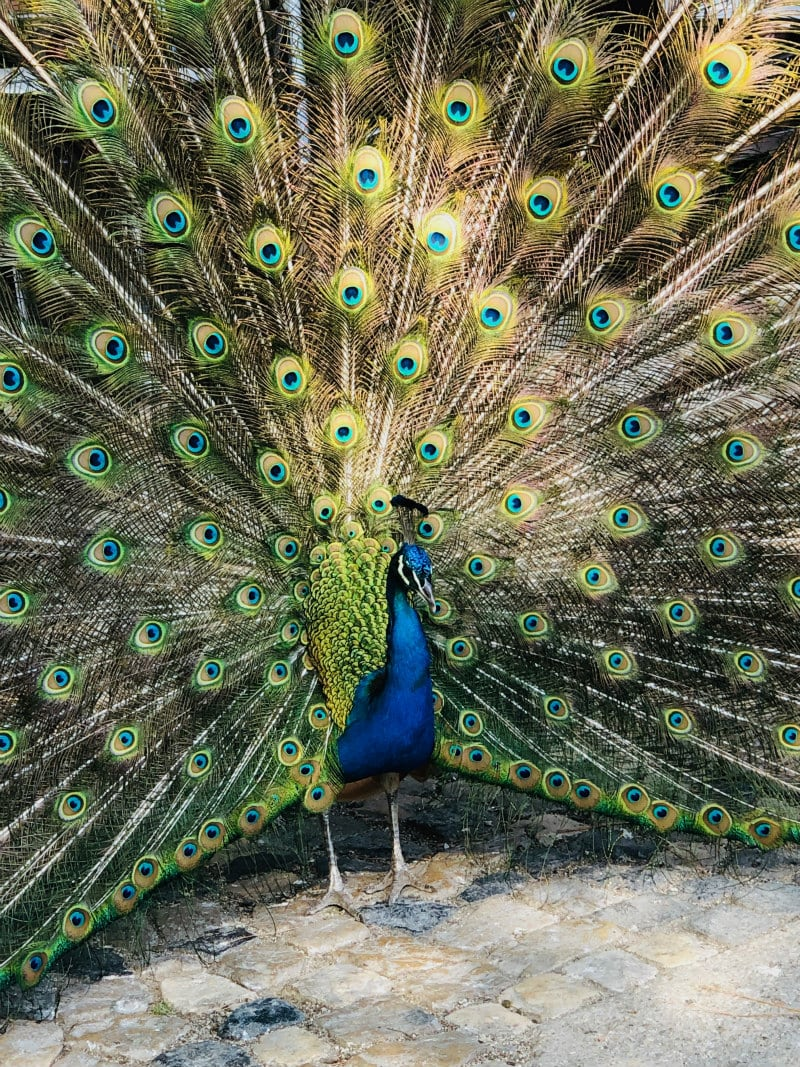 Peacock at Sao Jorge Castle in Lisbon, Portugal